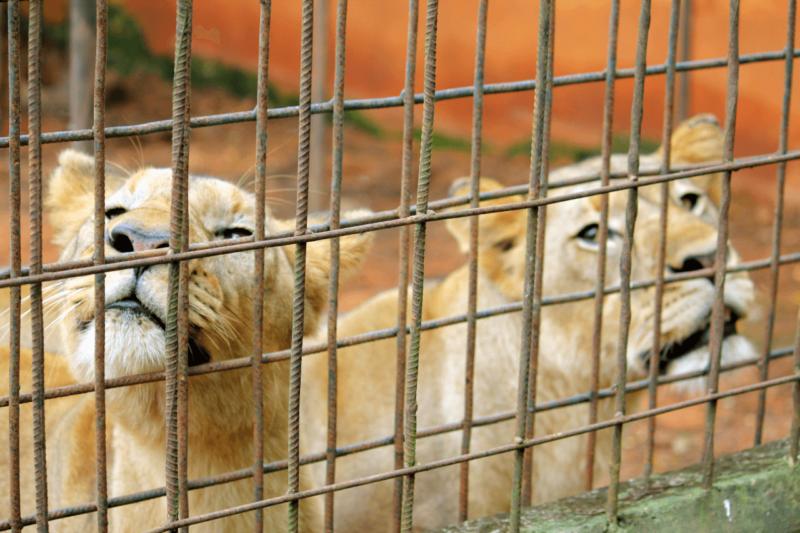Mvog-Betsi Zoo Yaounde Cameroon Tourism Family Friendly Activity Mandrills Mangabey Lions