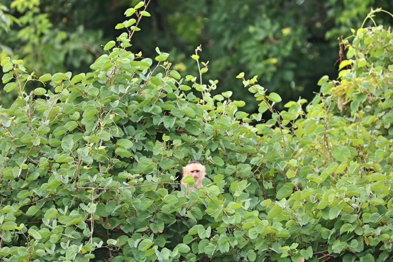 Andaz Papagayo monkey