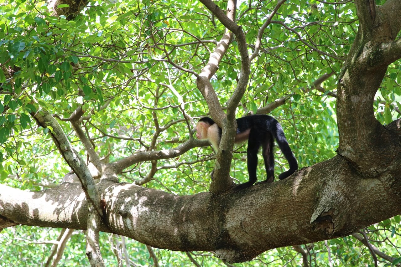 Costa Rican wildlife- white-faced monkeys